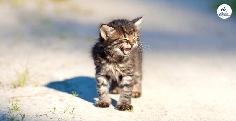 Comprendre les miaulements du chat