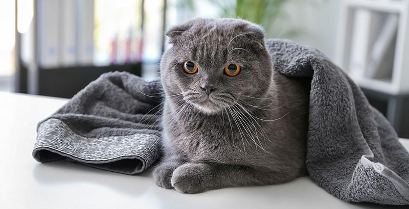 Comment déchiffrer les expressions faciales des chats ?