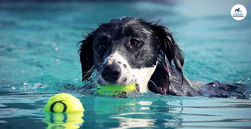 Vrai ou Faux : Les chiens sont des nageurs hors-pairs