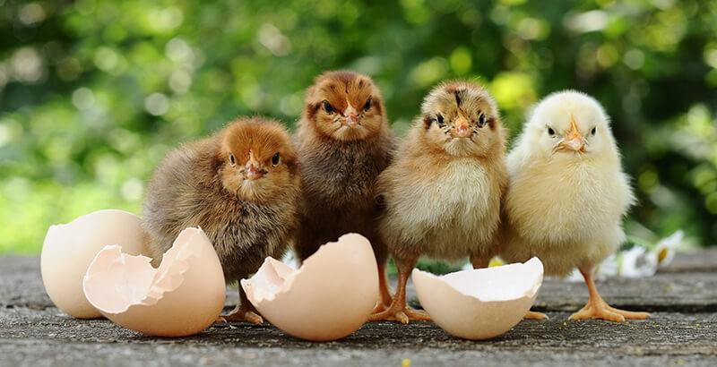 Y'a-t-il un poussin dans chaque œuf ?