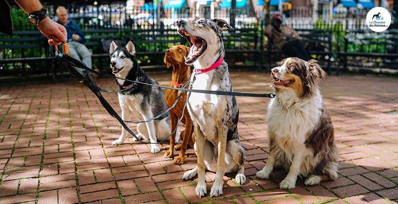 La dominance et la hiérarchie chez le chien