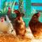 Les vermifuges pour poules
