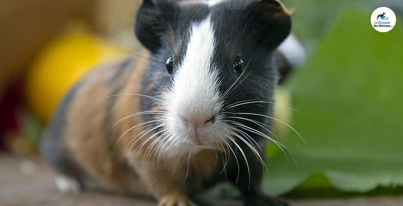 L'importance de la vitamine C pour le cochon d'Inde