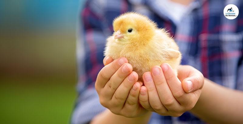 Le cycle de vie d'une poule