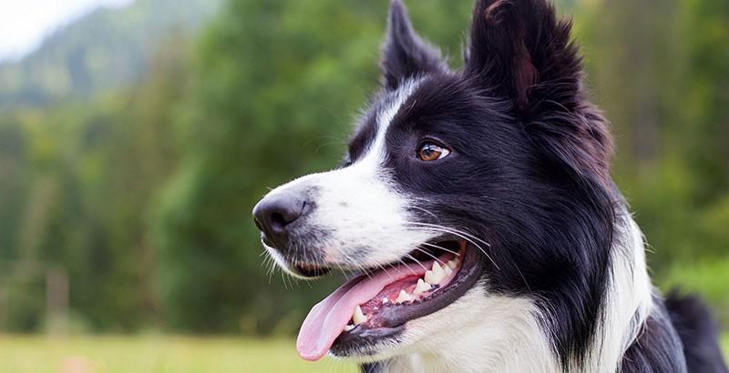 Que faire si mon chien a la langue bleue ?