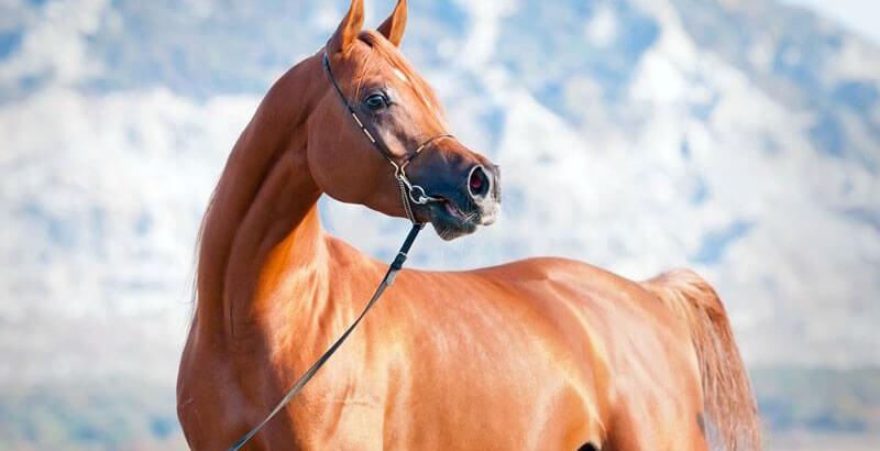 Focus race - Le Pur-Sang Arabe