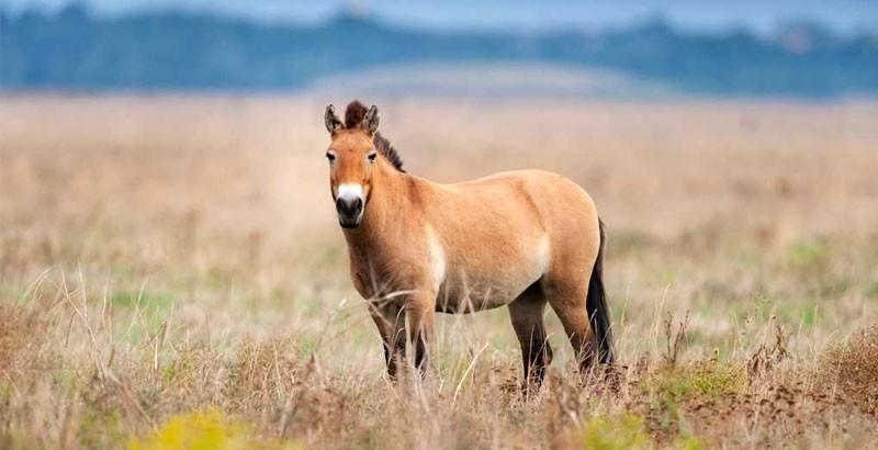 Focus race - Le cheval de Przewalski