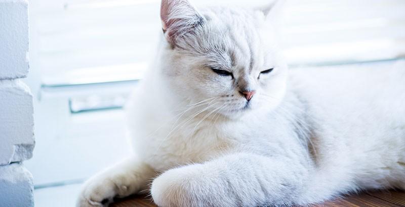 Les vices rédhibitoires chez le chat