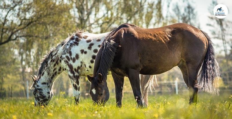 Les plantes toxiques pour les chevaux (Suite)