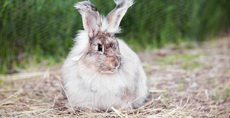 Les principales maladies du lapin
