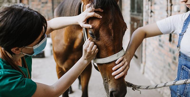 La Leptospirose chez le cheval
