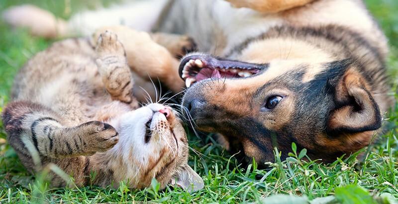 Vrai ou Faux : Les chiens n'aiment pas les chats