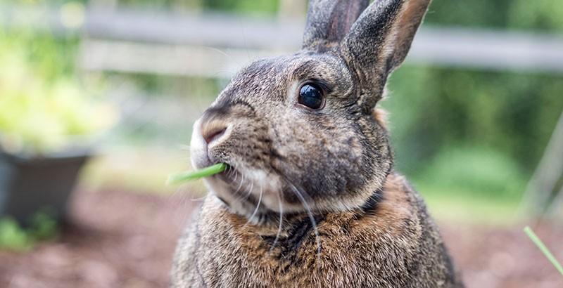 Comment prendre soin des dents des rongeurs et lapins ?