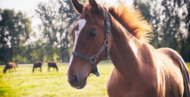 Les allergies chez le cheval