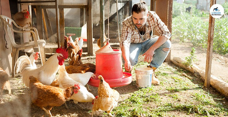Quels sont les aliments toxiques pour les poules ?