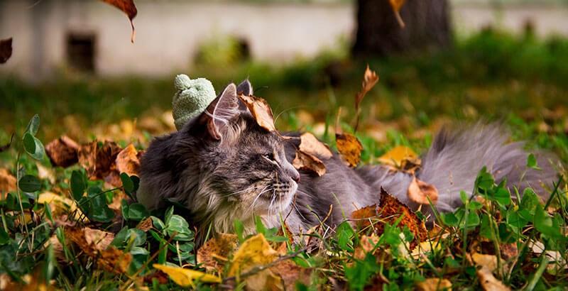 La reproduction chez le chat