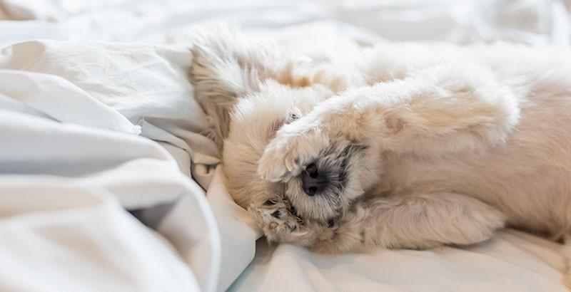 La maladie de Cushing chez le chien