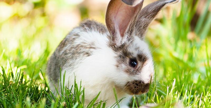 Pourquoi le lapin a-t-il de grandes oreilles ?