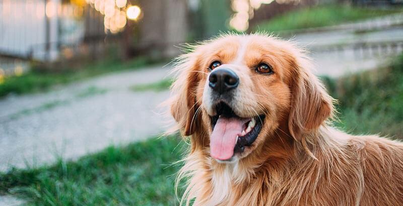 Les signes d'une crise d'épilepsie chez le chien