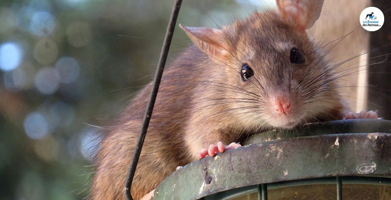 Focus race - Le rat