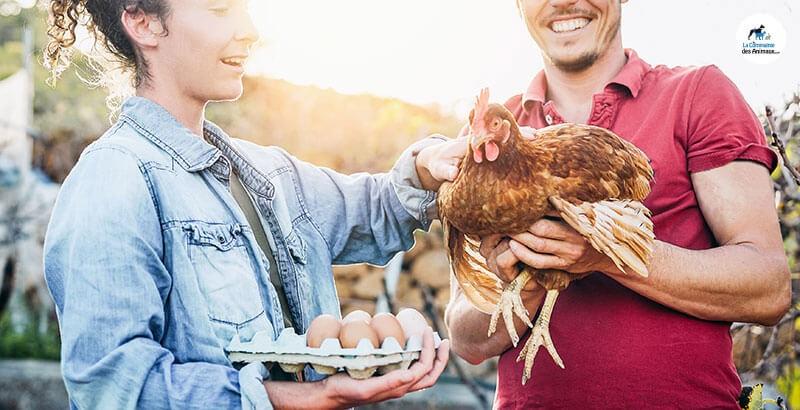 Quelle alimentation pour les poules pondeuses ?
