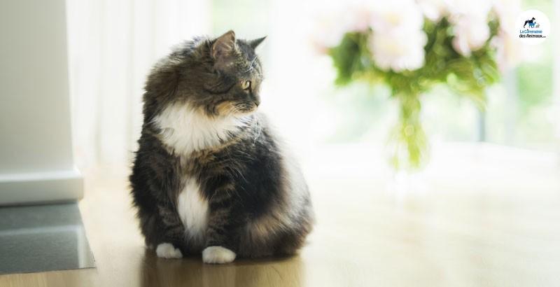 Vrai ou Faux : Un chat castré est toujours obèse