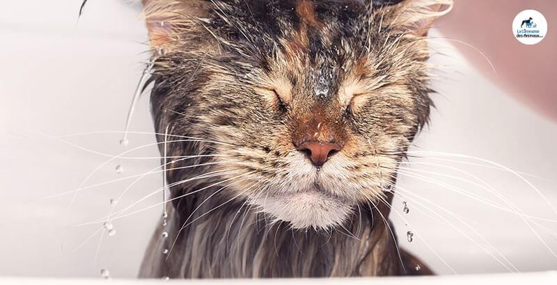 Vrai ou Faux : Les chats n'aiment pas l'eau