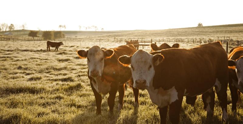 On a testé : le complément alimentaire pour bovins Calf-Lyte