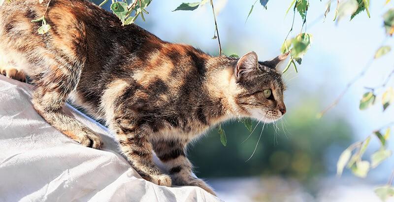 La maladie de Lyme chez le chat