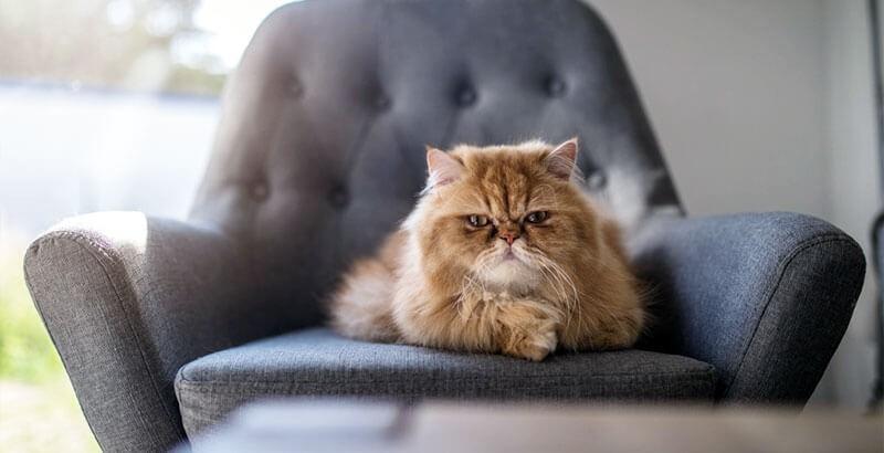 Pourquoi mon chat grogne-t-il ?