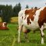 La cétose de la vache laitière