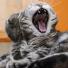 Qu'est ce qu'est la Gingivostomatite ou stomatite du chat ?