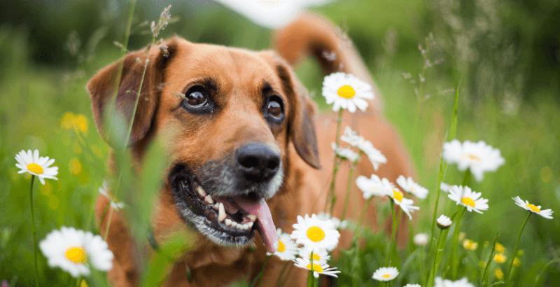 Peut-on donner des huiles essentielles à son chien ?