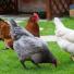 Comment protéger ses poules des prédateurs ?