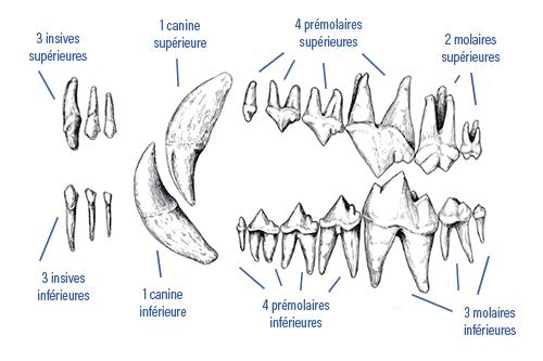 Chiens Et Chats Perdent Leurs Dents Causes Conseils