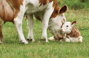 Illustration jeune bovin et sa mère
