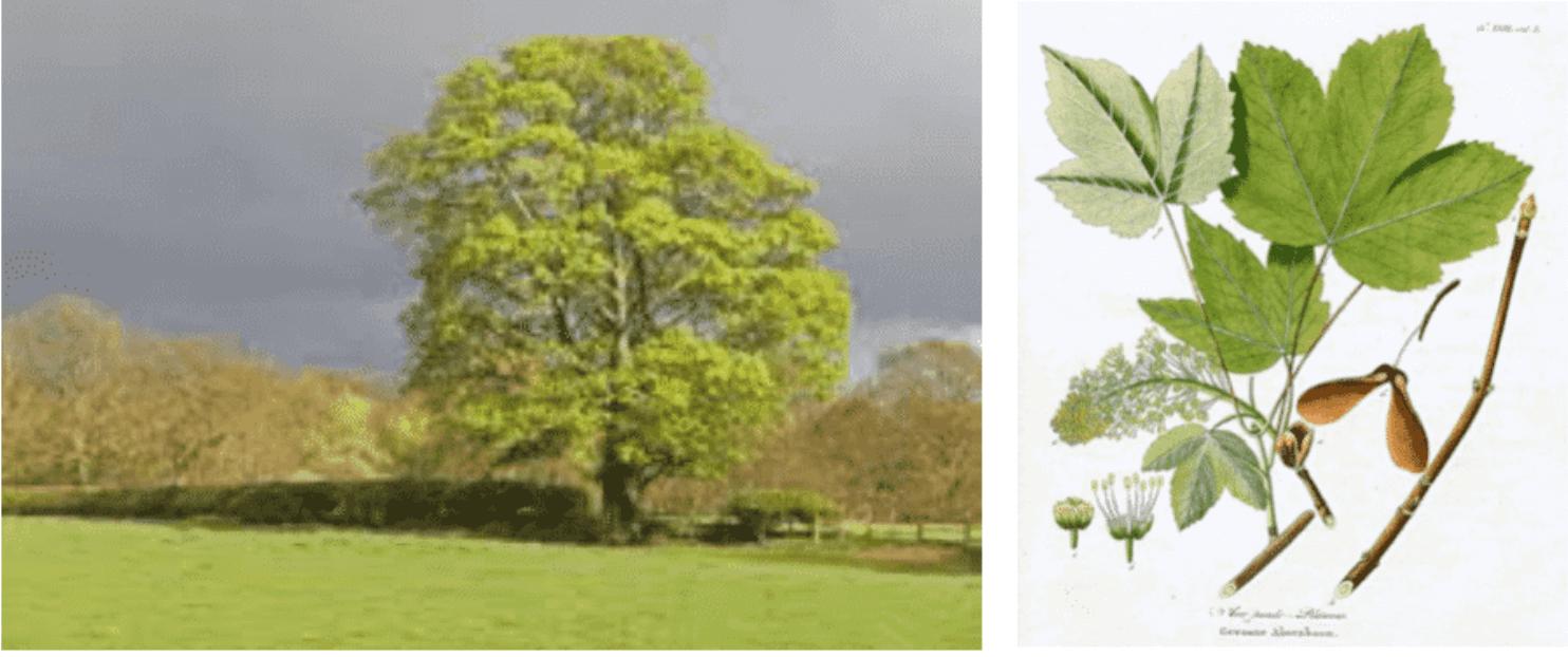 Erable sycomore, incriminé en France et en Belgique surtout,  qui contient la toxine responsable dans ses graines et ses jeunes pousses