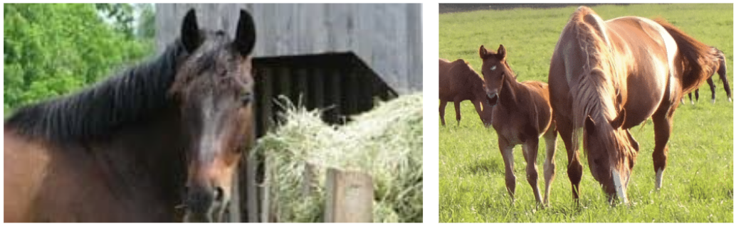 Herbe fraiche ou herbe sèche (=foin), la base de l'alimentation des chevaux