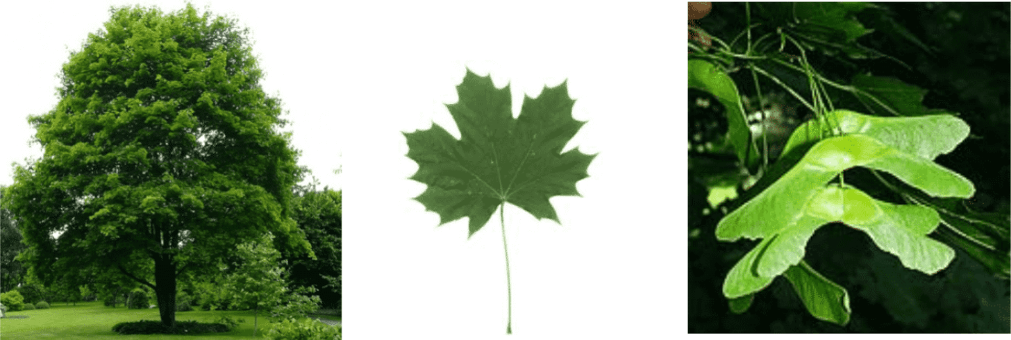 Erable plane, non toxique … C'est compliqué de s'y retrouver en botanique!