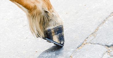 La fourbure chez les chevaux